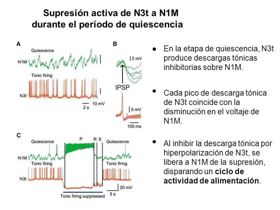 Supresión activa de N3t a N1M durante el período de quiescencia En la etapa de quiescencia, N3t produce descargas tónicas inhibitorias sobre N1M. Cada