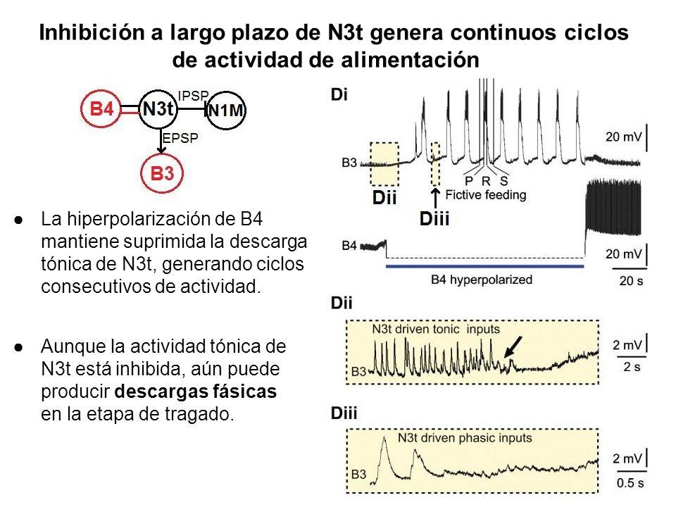 Inhibición a largo plazo de N3t genera continuos ciclos de actividad de alimentación La hiperpolarización de B4 mantiene suprimida la descarga tónica