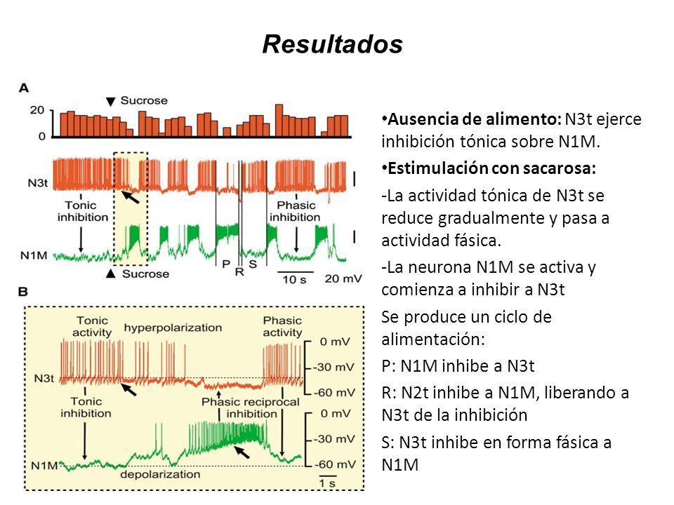 Resultados Ausencia de alimento: N3t ejerce inhibición tónica sobre N1M. Estimulación con sacarosa: -La actividad tónica de N3t se reduce gradualmente