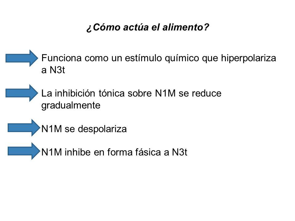 ¿Cómo actúa el alimento? Funciona como un estímulo químico que hiperpolariza a N3t La inhibición tónica sobre N1M se reduce gradualmente N1M se despol