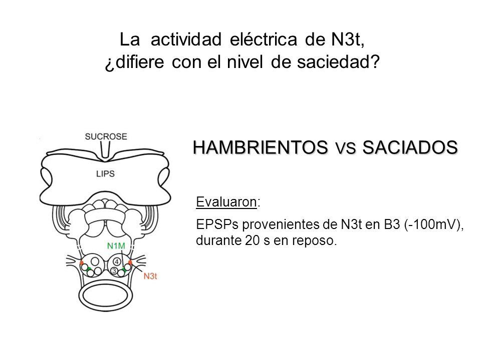 La actividad eléctrica de N3t, ¿difiere con el nivel de saciedad? HAMBRIENTOS VS SACIADOS Evaluaron: EPSPs provenientes de N3t en B3 (-100mV), durante