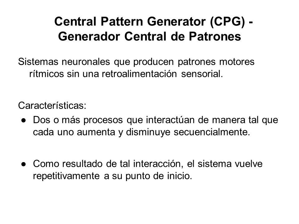 Central Pattern Generator (CPG) - Generador Central de Patrones Sistemas neuronales que producen patrones motores rítmicos sin una retroalimentación s