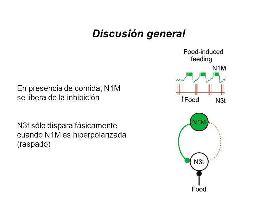 En presencia de comida, N1M se libera de la inhibición N3t sólo dispara fásicamente cuando N1M es hiperpolarizada (raspado) Discusión general