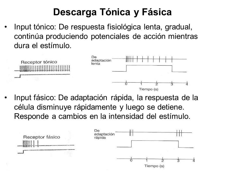 Descarga Tónica y Fásica Input tónico: De respuesta fisiológica lenta, gradual, continúa produciendo potenciales de acción mientras dura el estímulo.