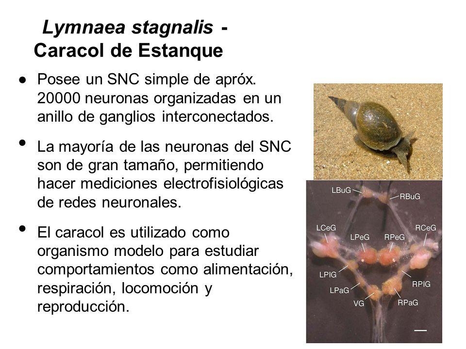 Lymnaea stagnalis - Caracol de Estanque Posee un SNC simple de apróx. 20000 neuronas organizadas en un anillo de ganglios interconectados. La mayoría