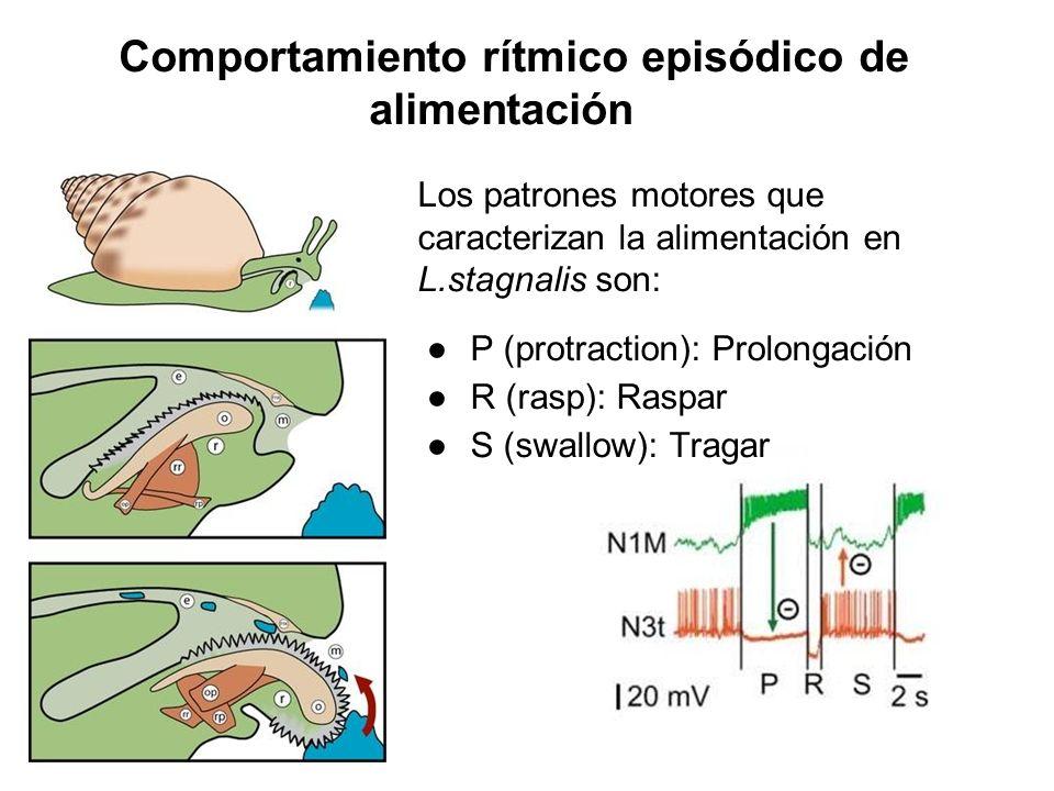 Comportamiento rítmico episódico de alimentación Los patrones motores que caracterizan la alimentación en L.stagnalis son: P (protraction): Prolongaci