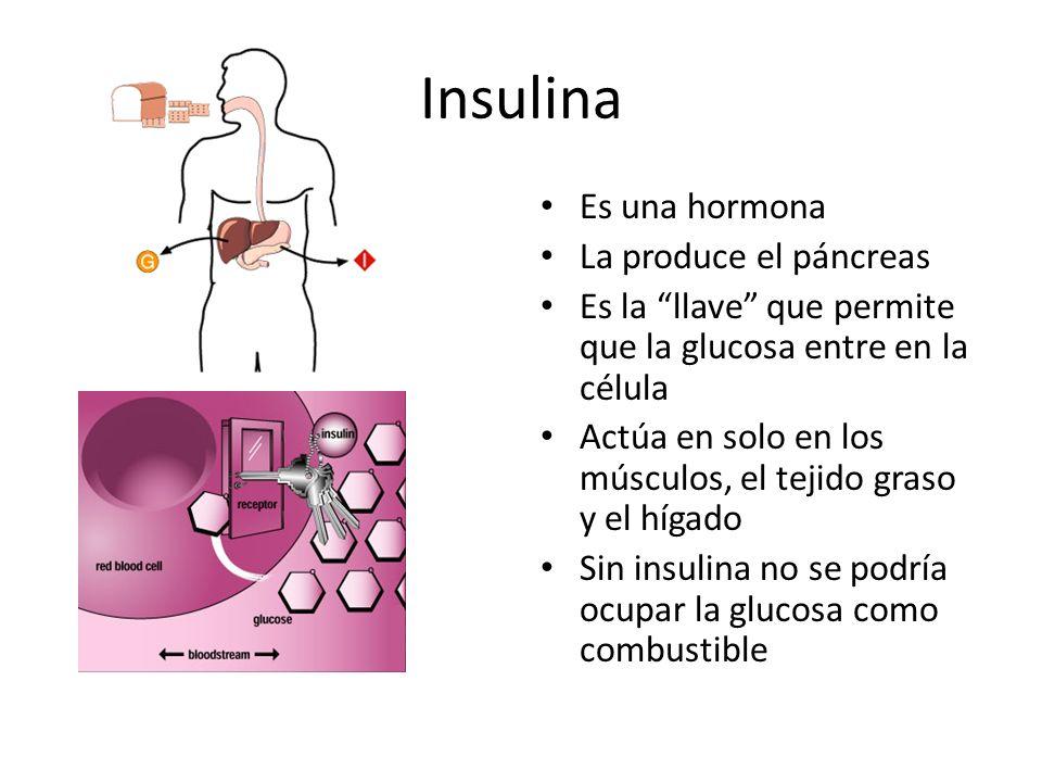 Insulina Es una hormona La produce el páncreas Es la llave que permite que la glucosa entre en la célula Actúa en solo en los músculos, el tejido graso y el hígado Sin insulina no se podría ocupar la glucosa como combustible