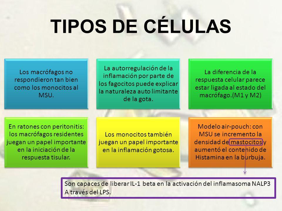 TIPOS DE CÉLULAS Los macrófagos no respondieron tan bien como los monocitos al MSU.