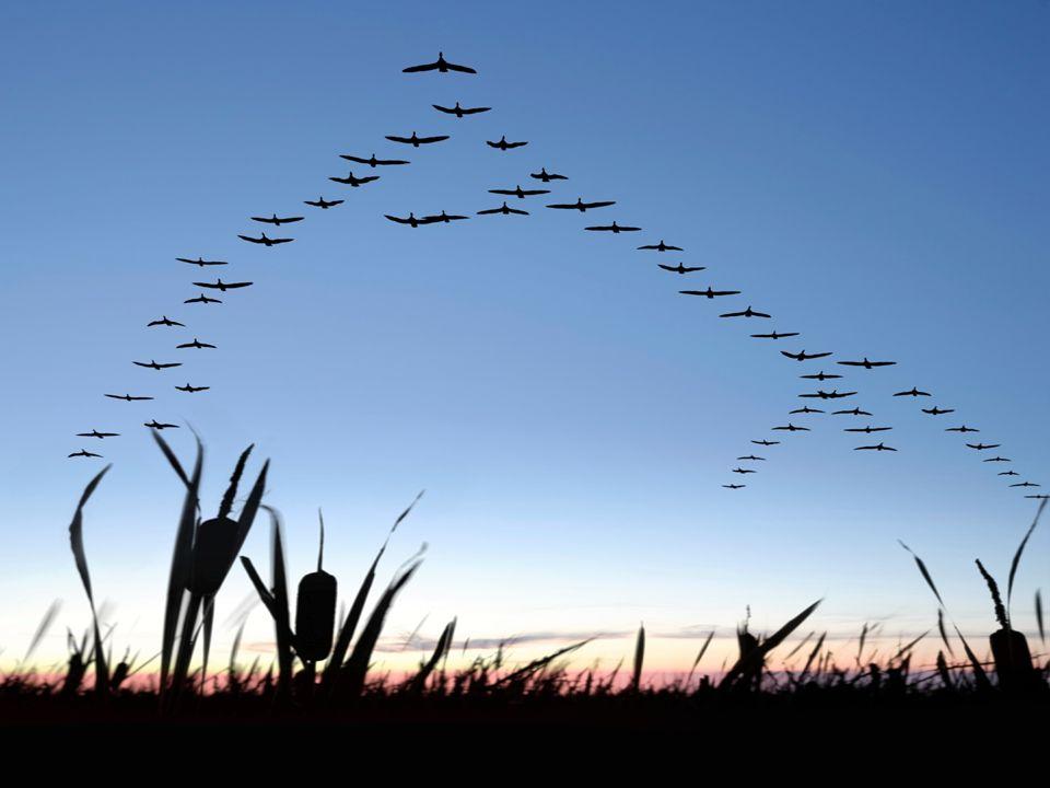 Al volar en formación de V, la bandada entera reduce en un 71% el esfuerzo de cortar el viento, con respecto a un ganso que volara solo, aprovechando el rebufo del que va delante.