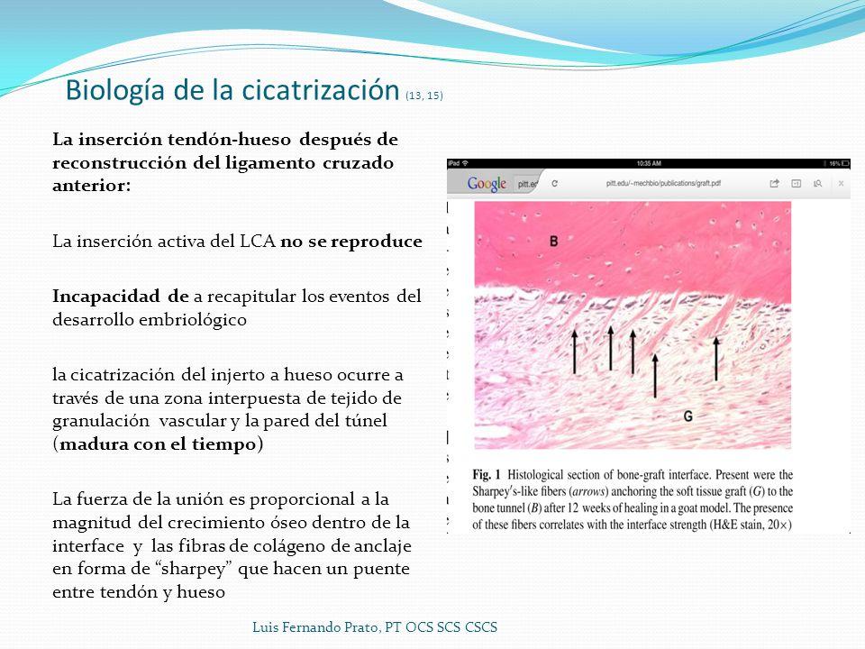 Biología de la cicatrización (13, 15) La inserción tendón-hueso después de reconstrucción del ligamento cruzado anterior: La inserción activa del LCA no se reproduce Incapacidad de a recapitular los eventos del desarrollo embriológico la cicatrización del injerto a hueso ocurre a través de una zona interpuesta de tejido de granulación vascular y la pared del túnel (madura con el tiempo) La fuerza de la unión es proporcional a la magnitud del crecimiento óseo dentro de la interface y las fibras de colágeno de anclaje en forma de sharpey que hacen un puente entre tendón y hueso Luis Fernando Prato, PT OCS SCS CSCS