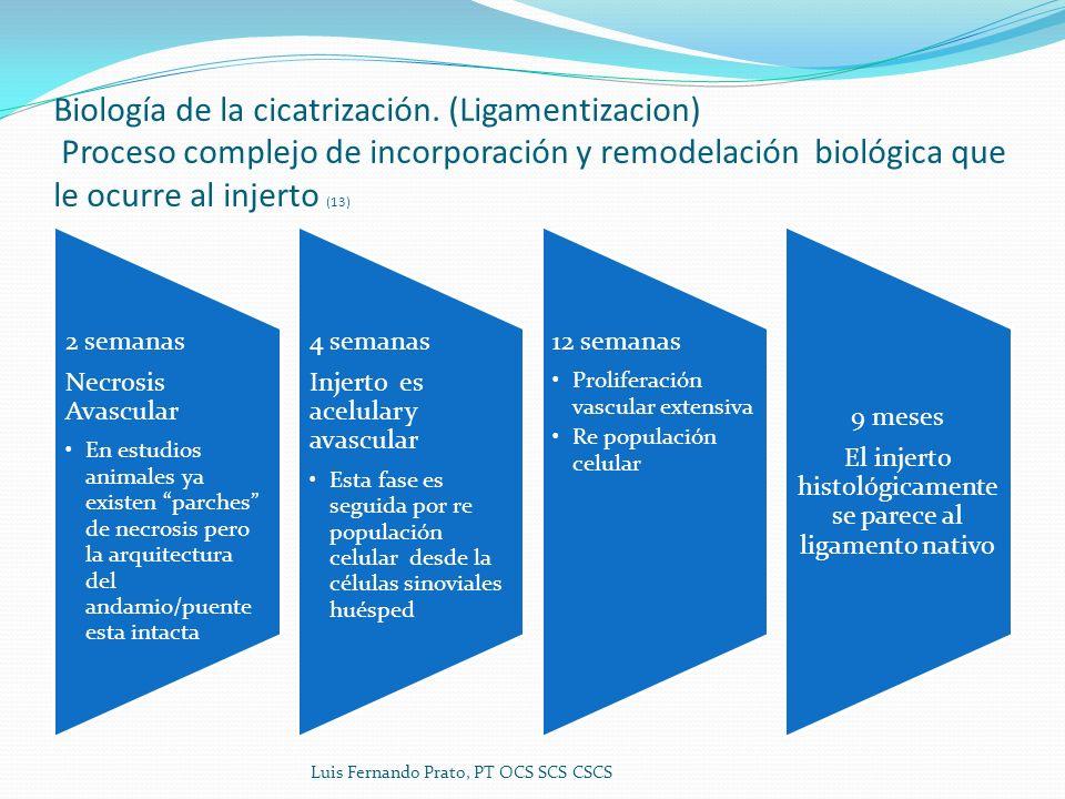 Biología de la cicatrización. (Ligamentizacion) Proceso complejo de incorporación y remodelación biológica que le ocurre al injerto (13) 2 semanas Nec