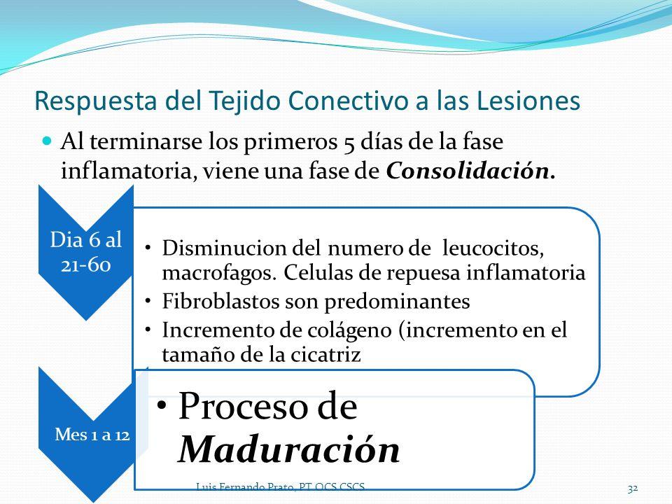 Al terminarse los primeros 5 días de la fase inflamatoria, viene una fase de Consolidación. Respuesta del Tejido Conectivo a las Lesiones Dia 6 al 21-