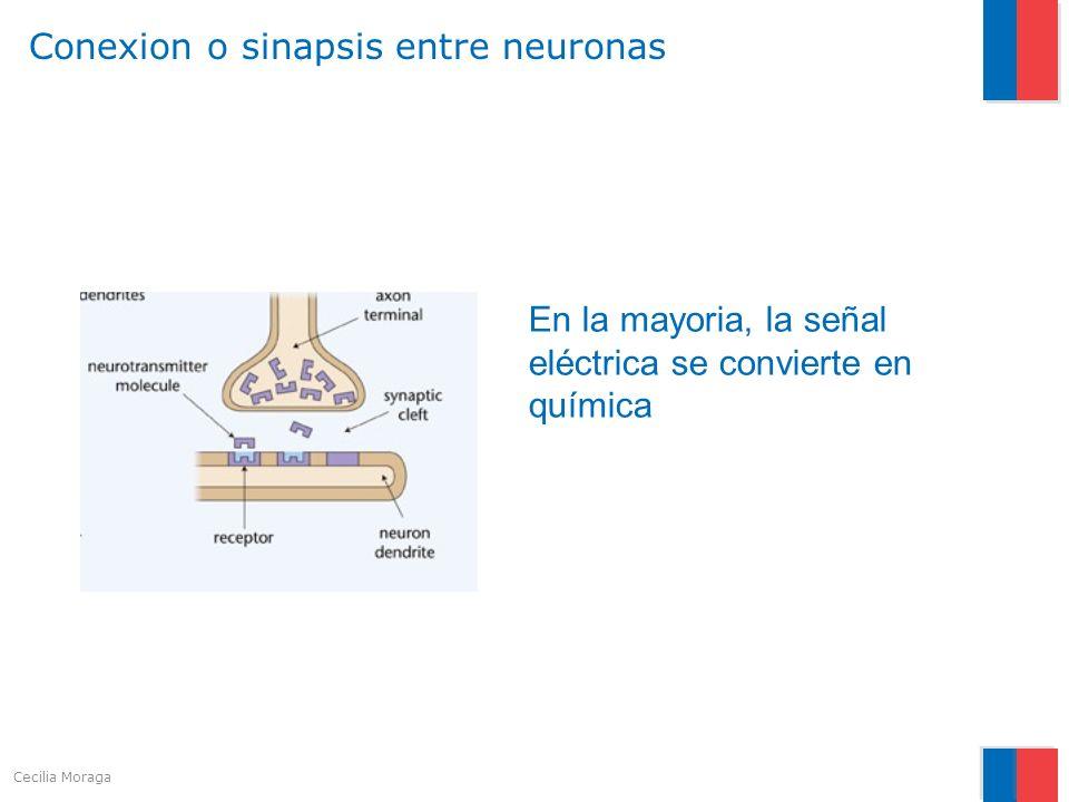 Conexion o sinapsis entre neuronas En la mayoria, la señal eléctrica se convierte en química Cecilia Moraga