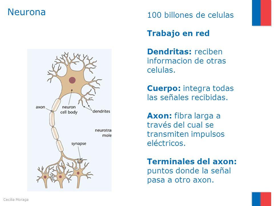 Neurona 100 billones de celulas Trabajo en red Dendritas: reciben informacion de otras celulas. Cuerpo: integra todas las señales recibidas. Axon: fib
