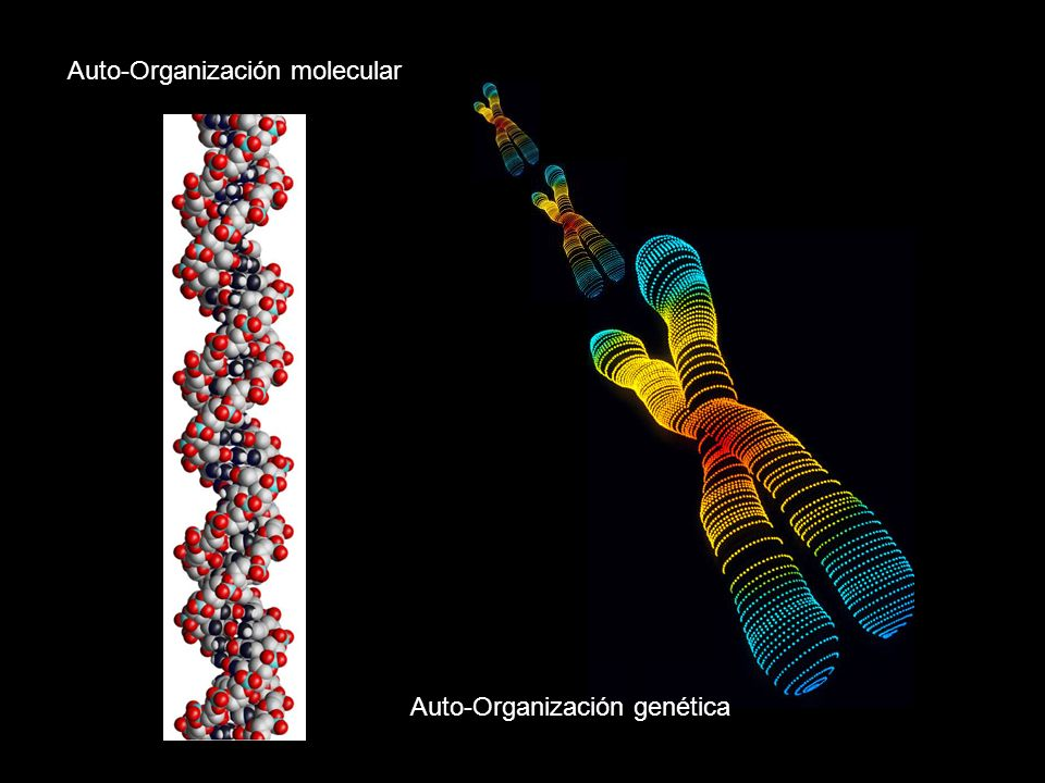 Auto-Organización molecular Auto-Organización genética