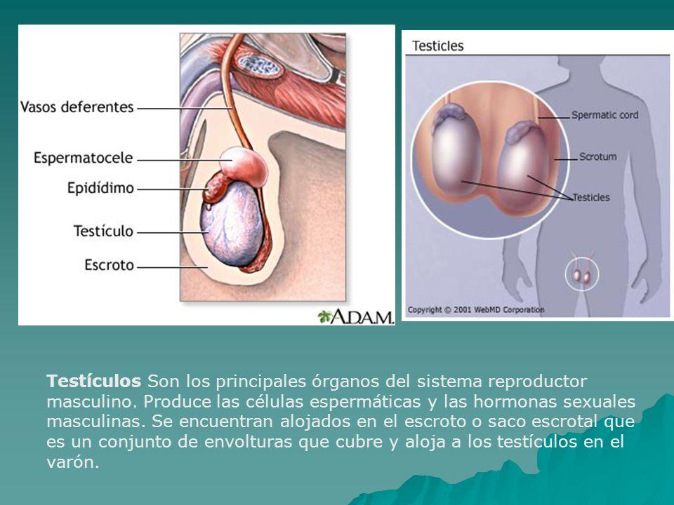 Testículos Son los principales órganos del sistema reproductor masculino. Produce las células espermáticas y las hormonas sexuales masculinas. Se encu