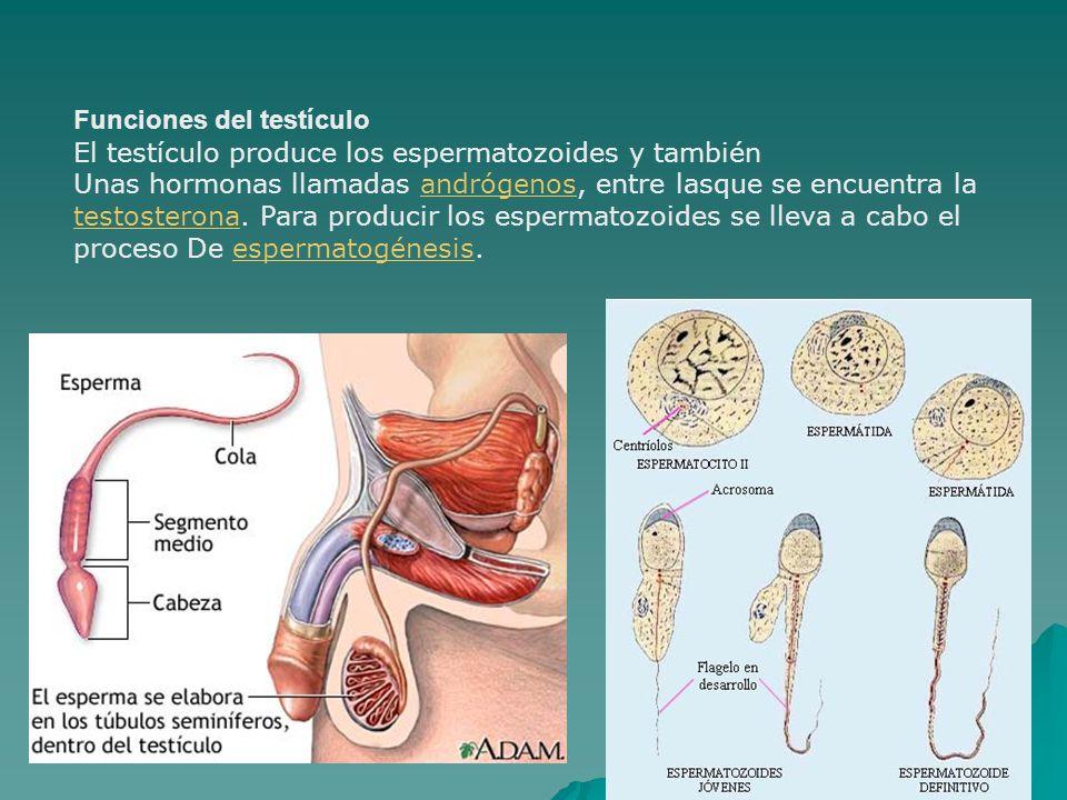 Funciones del testículo El testículo produce los espermatozoides y también Unas hormonas llamadas andrógenos, entre lasque se encuentra laandrógenos t