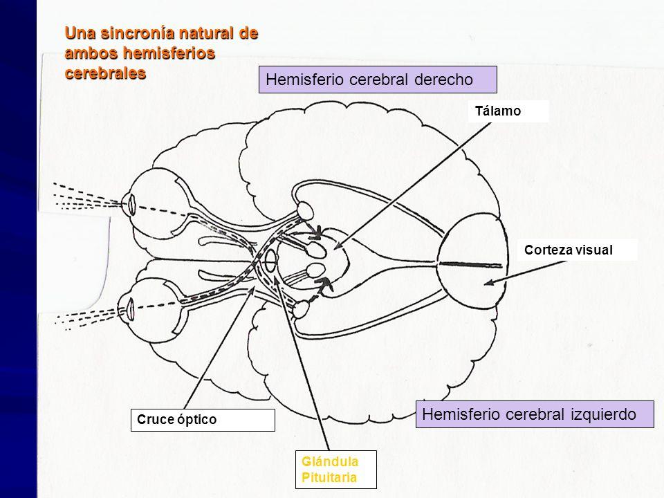 Hemisferio Derecho: Una sincronía natural de ambos hemisferios cerebrales Teoría del hemisferio derecho y del genio Dr. Makoto Shichida Teoría del Hem