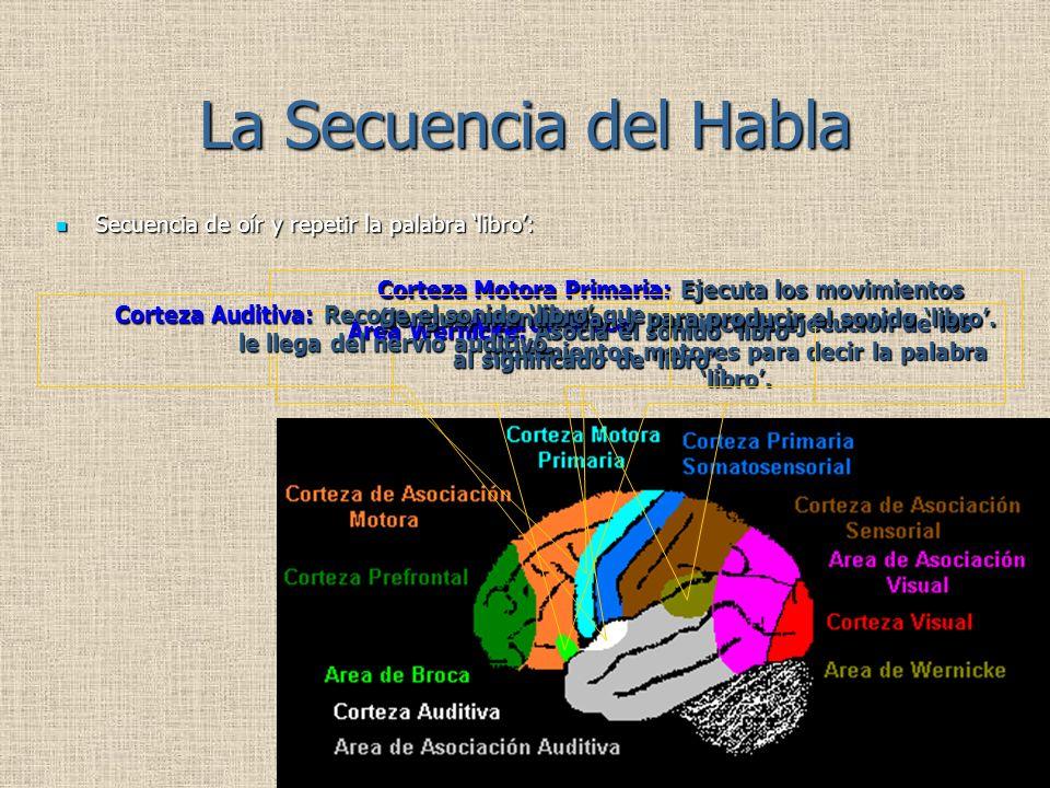 La Secuencia del Habla Área de Broca: Planifica la ejecución de los movimientos motores para decir la palabra libro. Área Wernicke: Asocia el sonido l