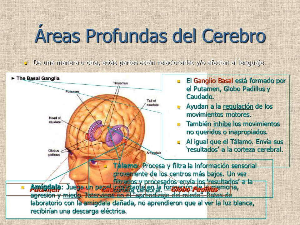 Áreas Profundas del Cerebro De una manera u otra, estás partes están relacionadas y/o afectan al lenguaje.