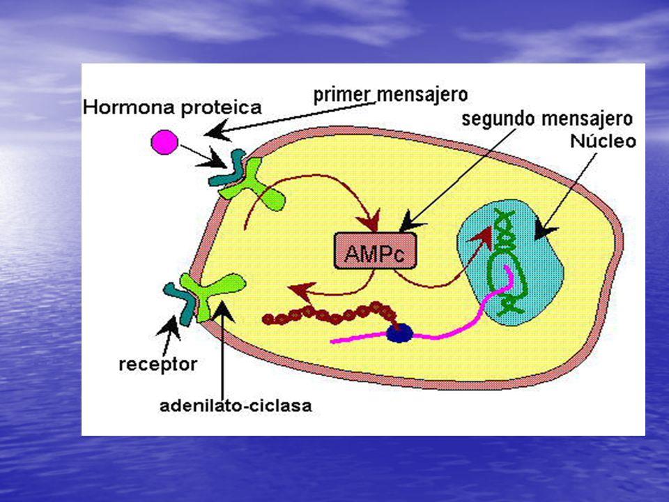 ¿Qué nos dice esta diapositiva? 1. La hormona se une a un receptor de membrana. 2. La unión hormona – receptor, activa la conversión del ATP en AMP c.