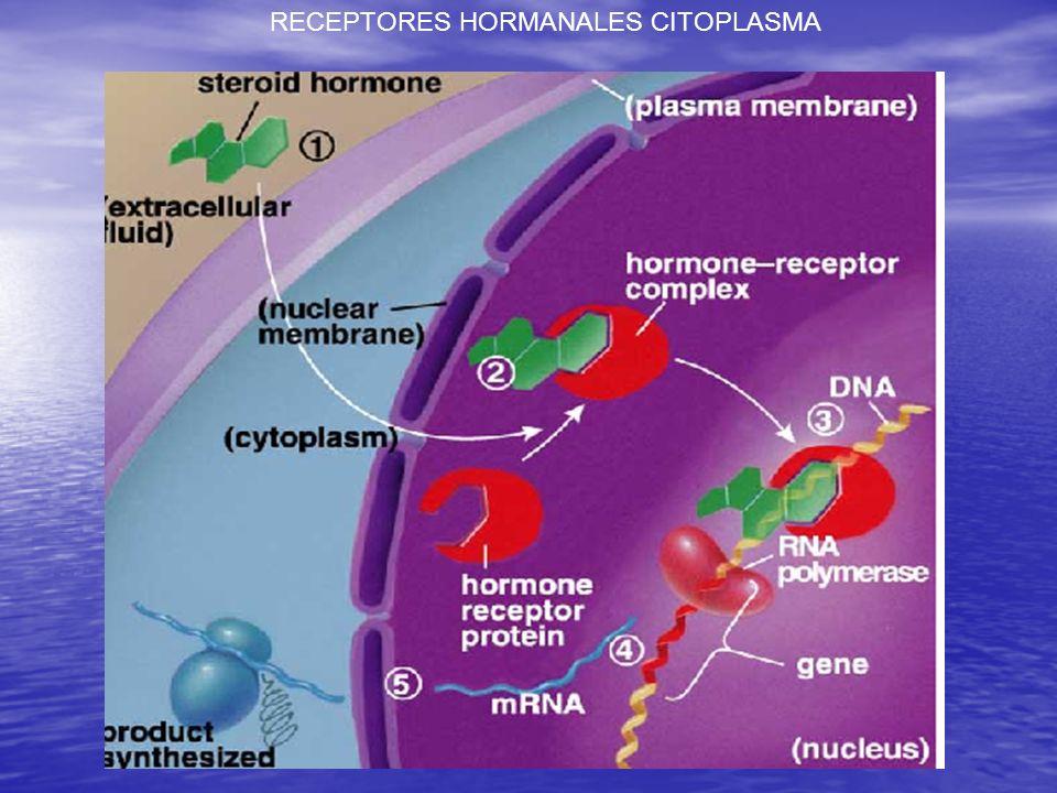 RECEPTORES INTRACELULARES. MECANISMOS DE ACCION DE LAS HORMONAS ESTEROIDALES.swf MECANISMOS DE ACCION DE LAS HORMONAS ESTEROIDALES.swf ACTÚAN DENTRO D