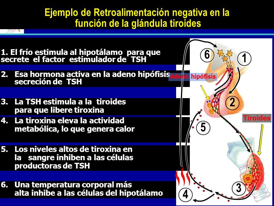 RETROALIMENTACIÓN NEGATIVA. La producción de hormonas está regulada por un sistema de retroacción negativa o feed-back. La producción de hormonas está