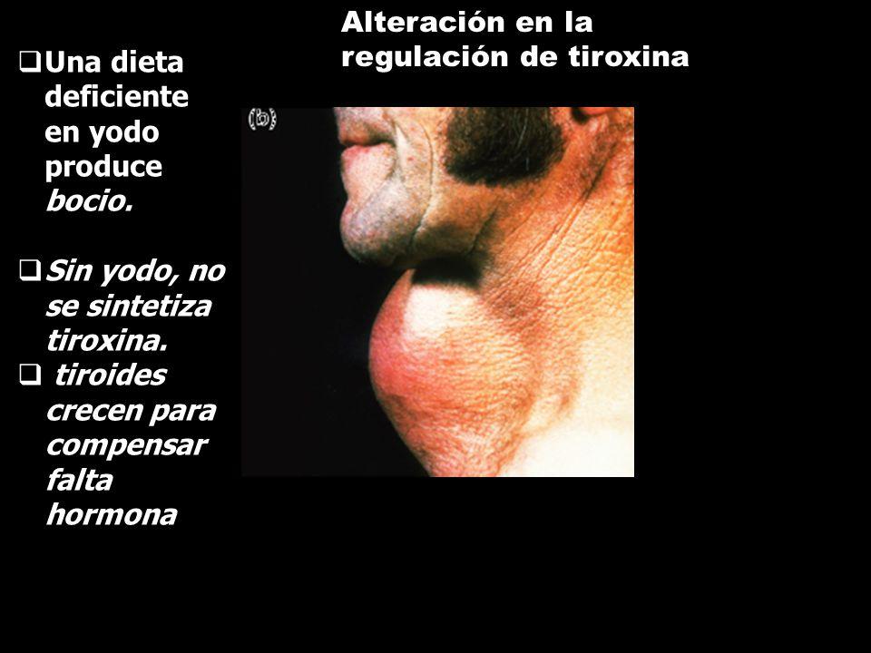 HORMONAS TIROIDEAS Tiroxina: actúa sobre el metabolismo, la regulación del crecimiento y desarrollo en general. Calcitonina: Interviene junto a la hor
