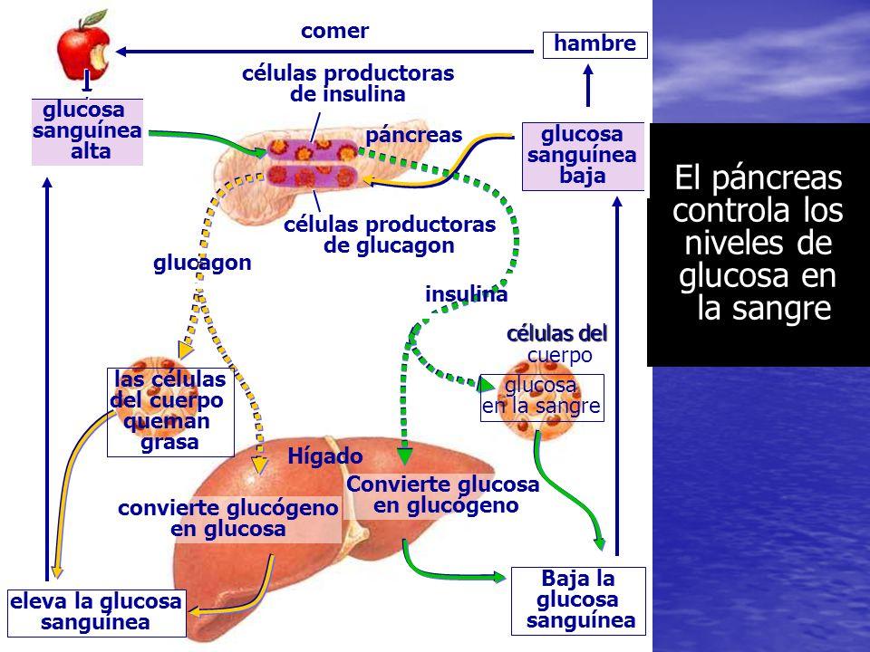 PANCREAS Glándula de secreción mixta o anficrina. Glándula de secreción mixta o anficrina. En su secreción externa vierte jugo pancreático, con funció