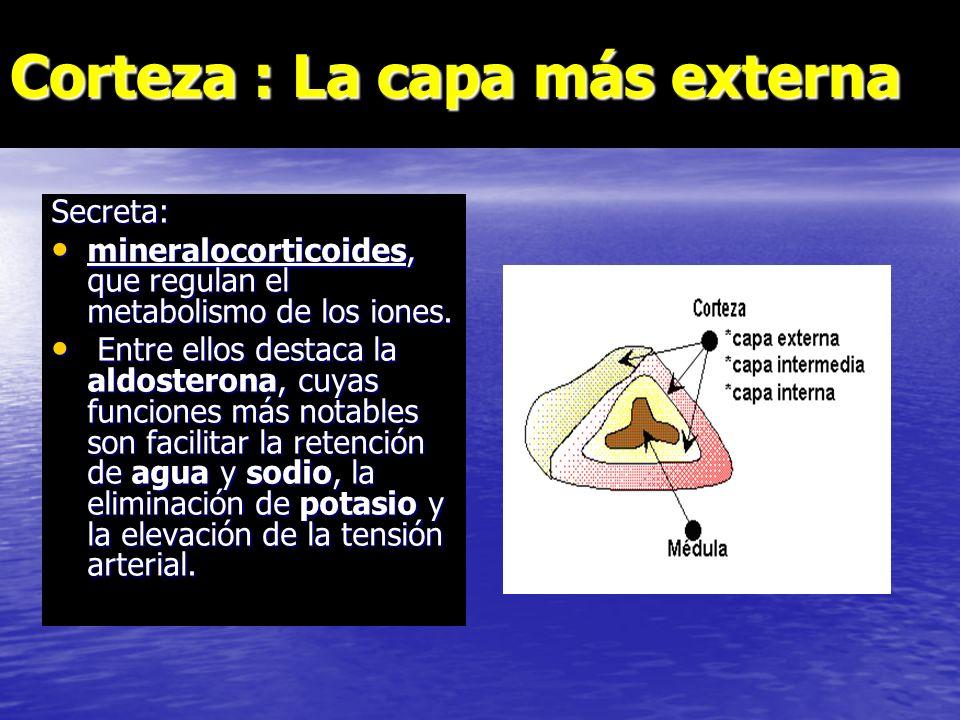 Las glándulas suprarrenales Corteza suprarrenal Médula suprarrenal Produce:glucocorticoides,testosterona,aldosterona.Produce:adrenalina,noradrenalina