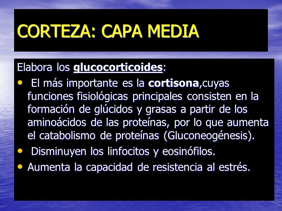 Corteza : La capa más externa Secreta: mineralocorticoides, que regulan el metabolismo de los iones. mineralocorticoides, que regulan el metabolismo d