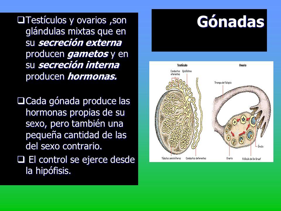 Corteza: capa interna segrega andrógenocorticoides, que están íntimamente relacionados con los caracteres sexuales. segrega andrógenocorticoides, que