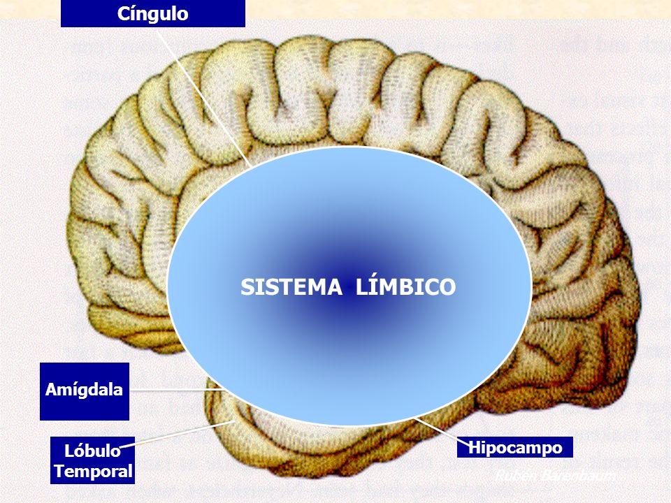 Cíngulo Hipocampo Amígdala Lóbulo Temporal SISTEMA LÍMBICO Rubén Barenbaum