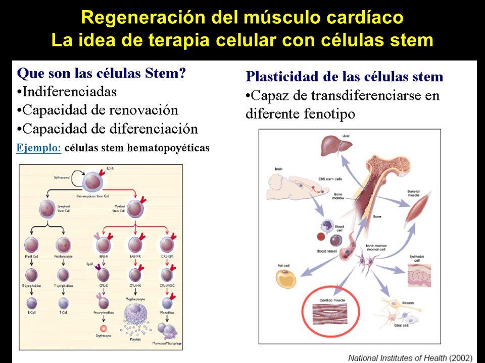 Regeneración del músculo cardíaco La idea de terapia celular con células stem