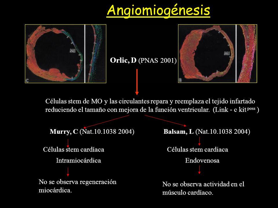 Orlic, D (PNAS 2001) Células stem de MO y las circulantes repara y reemplaza el tejido infartado reduciendo el tamaño con mejora de la función ventric