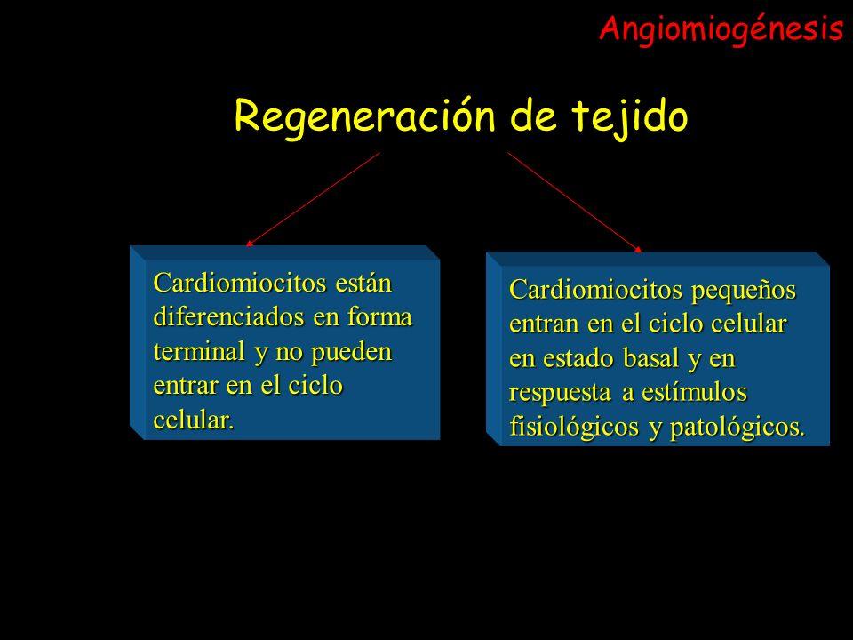 Regeneración de tejido Cardiomiocitos están diferenciados en forma terminal y no pueden entrar en el ciclo celular. Cardiomiocitos pequeños entran en
