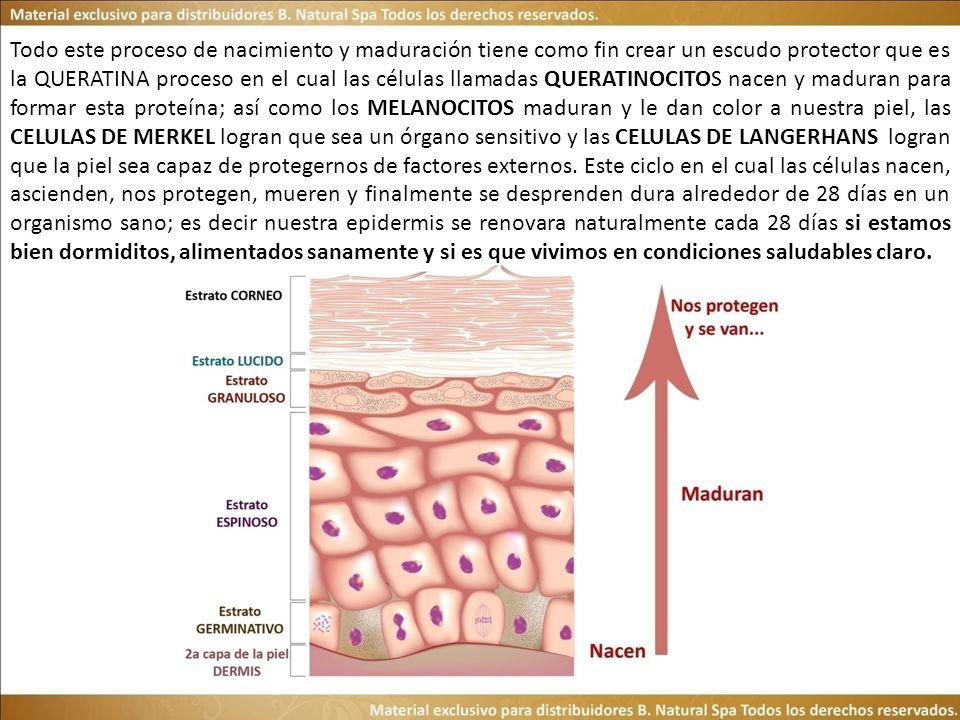 Todo este proceso de nacimiento y maduración tiene como fin crear un escudo protector que es la QUERATINA proceso en el cual las células llamadas QUERATINOCITOS nacen y maduran para formar esta proteína; así como los MELANOCITOS maduran y le dan color a nuestra piel, las CELULAS DE MERKEL logran que sea un órgano sensitivo y las CELULAS DE LANGERHANS logran que la piel sea capaz de protegernos de factores externos.