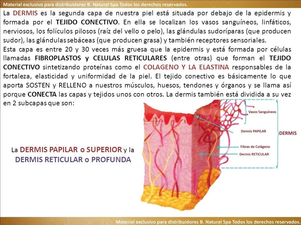 La DERMIS es la segunda capa de nuestra piel está situada por debajo de la epidermis y formada por el TEJIDO CONECTIVO.