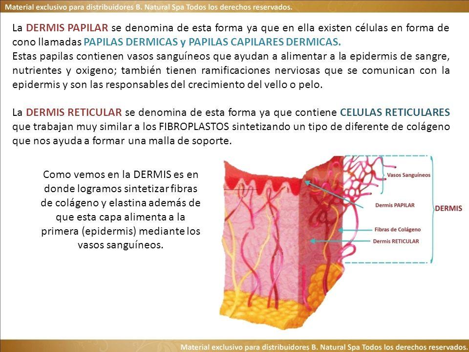 La DERMIS PAPILAR se denomina de esta forma ya que en ella existen células en forma de cono llamadas PAPILAS DERMICAS y PAPILAS CAPILARES DERMICAS. Es