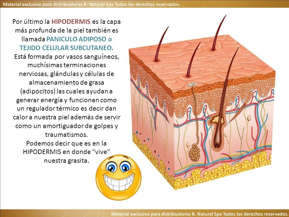 Por último la HIPODERMIS es la capa más profunda de la piel también es llamada PANICULO ADIPOSO o TEJIDO CELULAR SUBCUTANEO.