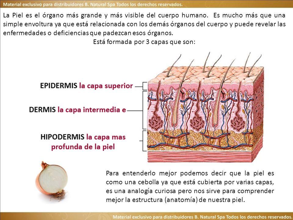 La Piel es el órgano más grande y más visible del cuerpo humano. Es mucho más que una simple envoltura ya que está relacionada con los demás órganos d
