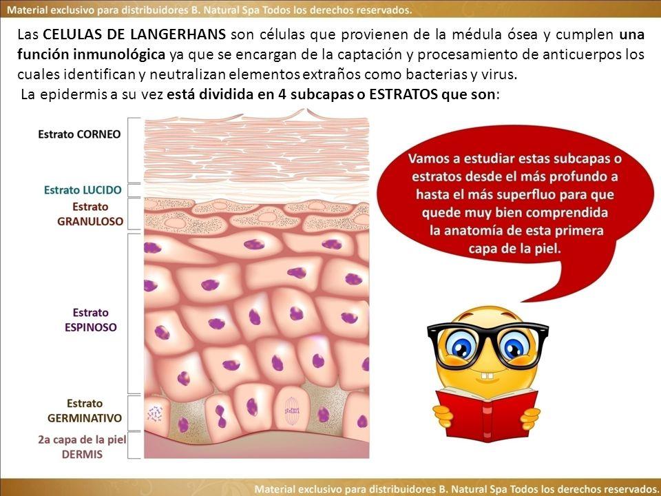 Las CELULAS DE LANGERHANS son células que provienen de la médula ósea y cumplen una función inmunológica ya que se encargan de la captación y procesam