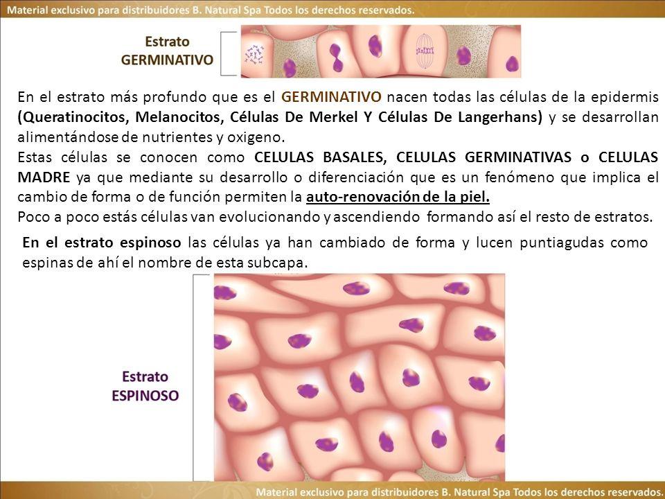 En el estrato más profundo que es el GERMINATIVO nacen todas las células de la epidermis (Queratinocitos, Melanocitos, Células De Merkel Y Células De Langerhans) y se desarrollan alimentándose de nutrientes y oxigeno.