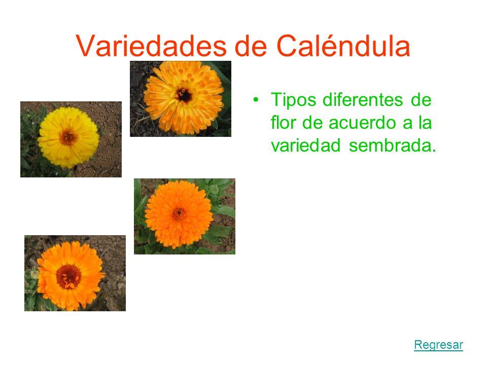 DESHIDRATACION DE LA FLOR La deshidratación de la flor la ejecutamos rápidamente para evitar la contaminación y descomposición del producto vegetal