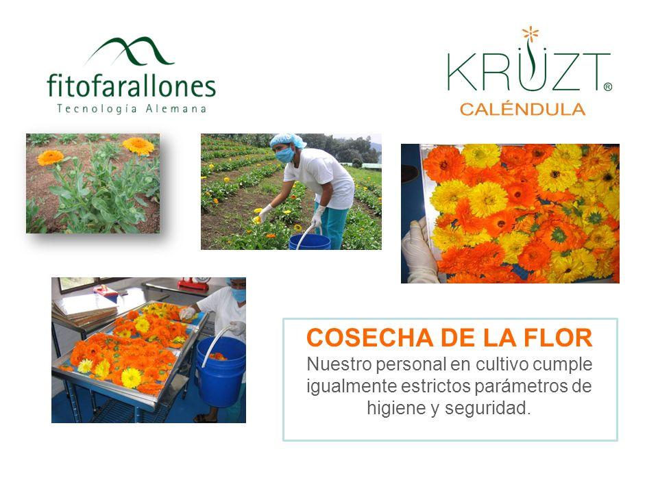 Variedades de Caléndula Tipos diferentes de flor de acuerdo a la variedad sembrada. Regresar