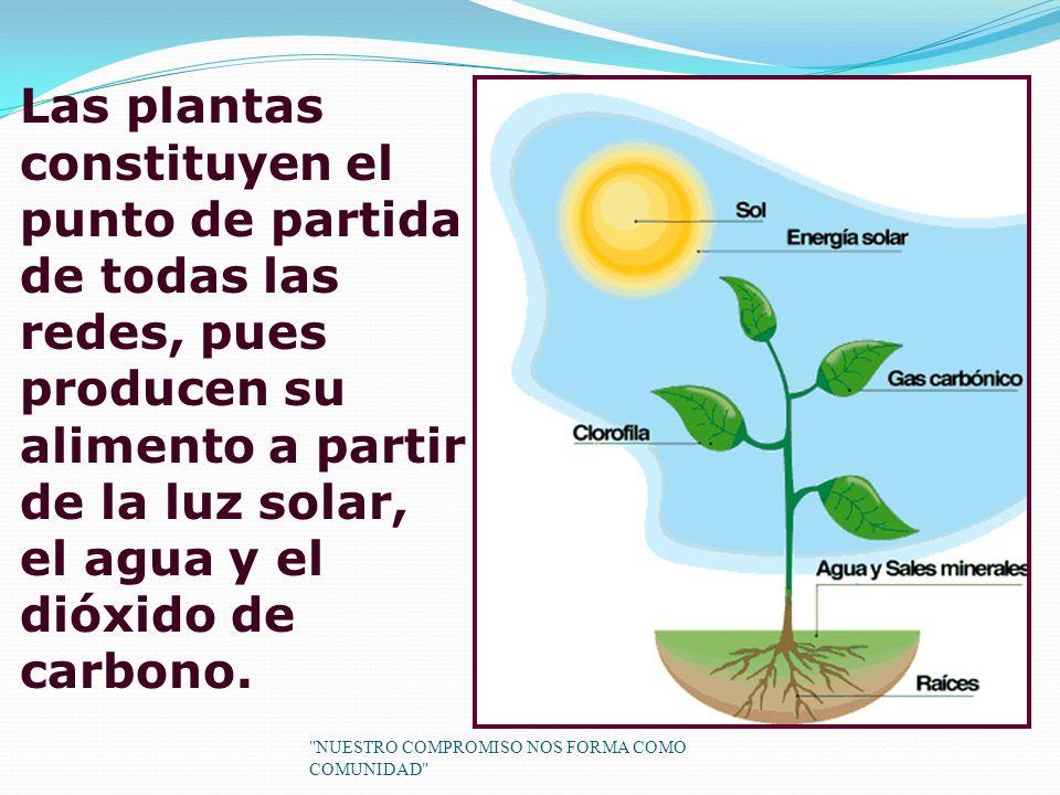 Las plantas constituyen el punto de partida de todas las redes, pues producen su alimento a partir de la luz solar, el agua y el dióxido de carbono.