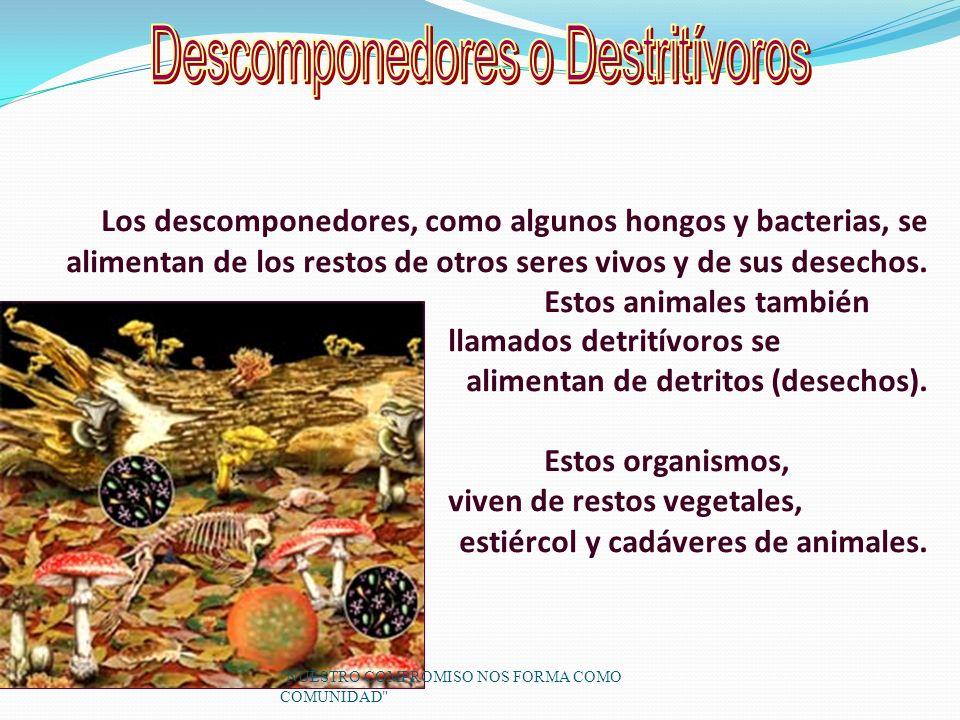 Los descomponedores, como algunos hongos y bacterias, se alimentan de los restos de otros seres vivos y de sus desechos.