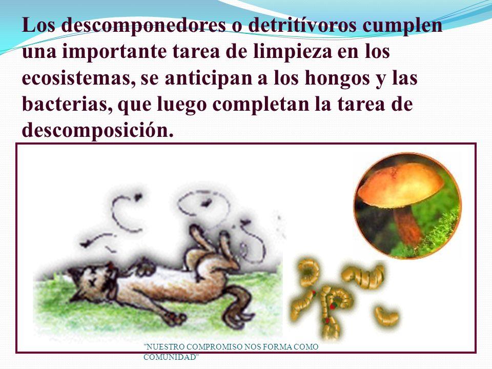 Los descomponedores o detritívoros cumplen una importante tarea de limpieza en los ecosistemas, se anticipan a los hongos y las bacterias, que luego completan la tarea de descomposición.