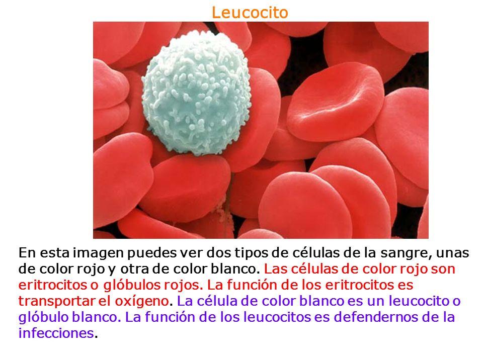 Plaquetas Las plaquetas se llaman también trombocitos.