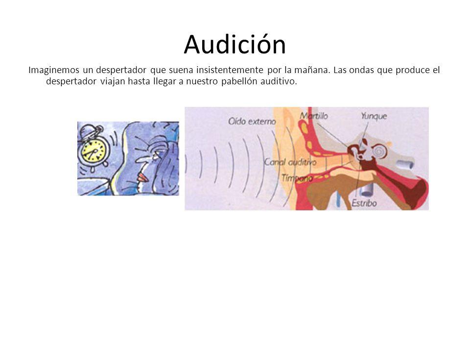 Audición Imaginemos un despertador que suena insistentemente por la mañana. Las ondas que produce el despertador viajan hasta llegar a nuestro pabelló